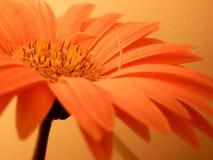 Zeldzame Roze Gerbera Daisy Petals Background Macro Closeup inspireert Stock Afbeeldingen
