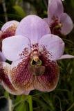 Sanderiana van Euanthe van de orchidee Stock Afbeelding