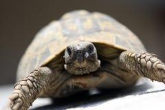 Zeldzame schildpad Stock Fotografie