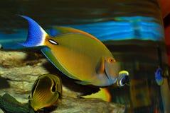 Zeldzame tropische vissen Stock Afbeelding