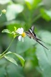 Zeldzame Vlinder Stock Foto's