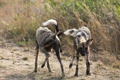 Zeldzame Wilde Honden bij Kruger-Park Zuid-Afrika stock foto