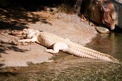 Zeldzame witte alligator Royalty-vrije Stock Afbeeldingen