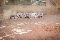 Zeldzame witte tijgerspecies die op het zand liggen royalty-vrije stock afbeeldingen