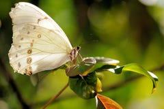 Zeldzame Witte Vlinder Morpho Royalty-vrije Stock Foto