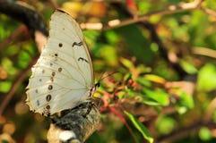 Zeldzame Witte Vlinder Morpho Stock Afbeeldingen