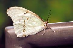 Zeldzame Witte Vlinder Morpho Stock Foto