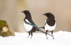 Twee Eksters in de sneeuw stock fotografie