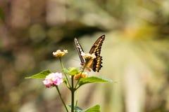 Zelicaon Papilio бабочки swallowtail анисовки Стоковая Фотография