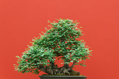 Zelkova bonsai Stock Photography