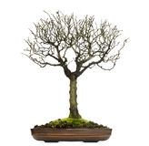 Zelkova bonsai tree, isolated Stock Photography