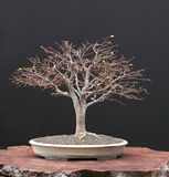 Zelkova bonsai in winter Royalty Free Stock Photos
