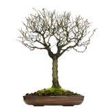 Zelkova bonsaiträd som isoleras Arkivbild