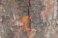 Zelkova serrata日本zelkova、日本榆木或者keyak吠声  库存图片