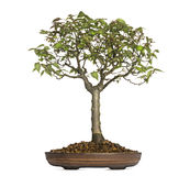 Zelkova Serrata, bonsai tree, isolated Royalty Free Stock Photography