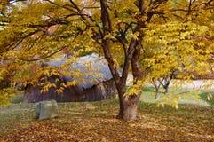 Zelkova serrataträd framme av det förhistoriska huset i höstintelligens royaltyfria bilder