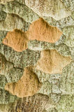 Zelkova tree bark detail Royalty Free Stock Photos