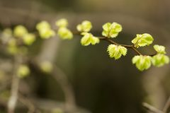 Zelkova tree leaves. Fresh green small zelkova tree young leaves in spring Stock Image