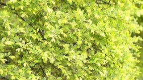 Zelkova tree leaves swaying. Fresh green small zelkova tree leaves swaying in the wind stock video footage