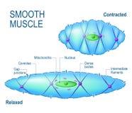 Zelle des glatten Muskels lizenzfreie abbildung