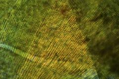 Zellen eines Mooses treiben in einem Polarisationsmikrographen Blätter Stockfoto