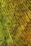 Zellen eines Mooses treiben in einem Polarisationsmikrographen Blätter Stockbilder
