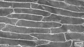 Zellplasmatisches Strömen stock video footage