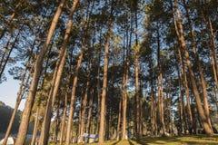 Zelt unter dem Kiefernwald neben dem See morgens Stockfotografie