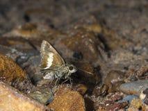 Zema banded Ace, Halpe zema, butterfly Garo Hills, Meghalaya