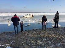 Zemun` s buren die Zwanen in de bevroren Donau voeden Stock Foto