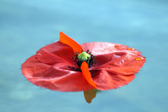 Zen. A shot with a poppy for the zen concept Royalty Free Stock Photo