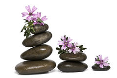 Zen balance and mauve flowers. Zen balance and wild mauve flowers isolated on a white background Stock Photography