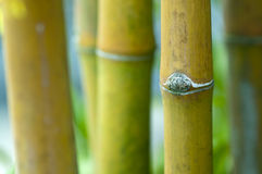 Zen bamboo. Close up Asian Bamboo forest stock image