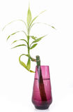 Zen bamboo. Isolated zen bamboo, symbol of purity and calm royalty free stock photography