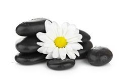Zen basalt stones and daisy isolated on white Royalty Free Stock Photo