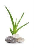 Zen delle foglie e delle pietre dell'aloe Fotografia Stock Libera da Diritti