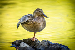 Zen duck on rock. A mallard duck stand on one leg on a rock at Cannon Hill Park in Spokane, Washington Stock Photos