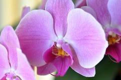 zen för purple för blommaorchidphalaenopsis Fotografering för Bildbyråer