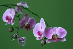 zen för purple för blommaorchidphalaenopsis Royaltyfria Bilder