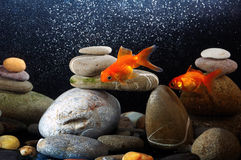 Zen goldfish. Couple goldfish in aquarium over well-arranged zen stone and nice bokeh of bubbles Royalty Free Stock Photography