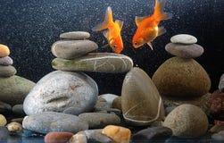 Zen goldfish. Couple goldfish in aquarium over well-arranged zen stone and nice bokeh of bubbles Royalty Free Stock Image