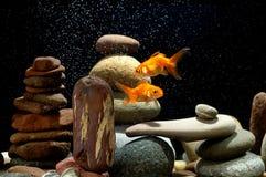 Zen goldfish. Couple goldfish in aquarium over well-arranged zen stone and nice bokeh of bubbles Royalty Free Stock Photos