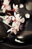 Zen pebbles with spring tree. Stone spa , branch blossoming cherry Royalty Free Stock Photography