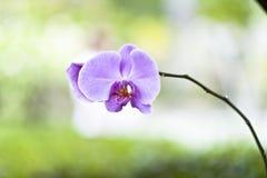 Zen porpora di phalaenopsis dell'orchidea Immagine Stock