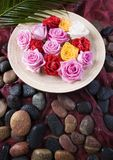 Zen roses. Rose (Rosa), a kind of flower which belongs to the rose-like family, includes over 200 species (according to some researchers up to a few thousands) royalty free stock photo