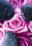 Zen roses. Rose (Rosa), a kind of flower which belongs to the rose-like family, includes over 200 species (according to some researchers up to a few thousands) stock photography