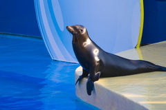Zen seal. A performing seal, takes time to soak in the atmosphere Royalty Free Stock Photos