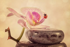 Zen stones and orchid Stock Image