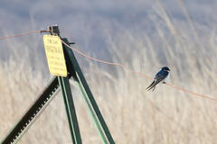 Zen tree swallow Royalty Free Stock Image