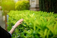Zen woman walking on a street gently touching the green bushes royalty free stock image